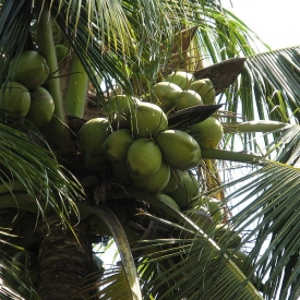 кокос,питание,лишний вес