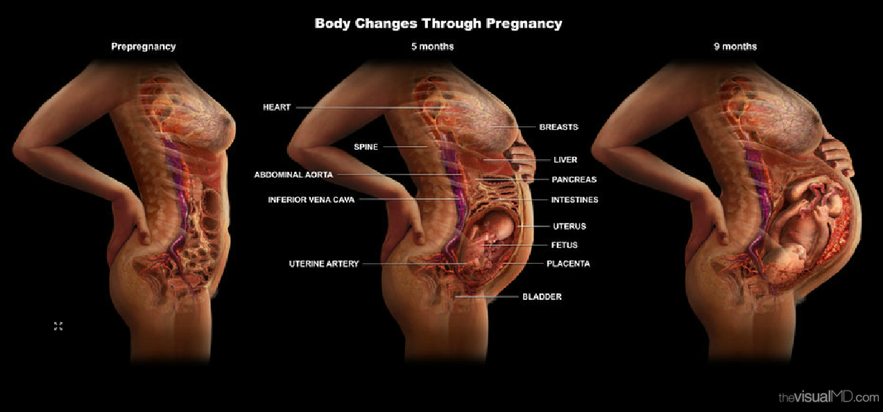 Анатомия строения беременной женщины 28